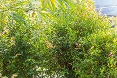 Frischer grüner Baum mit rence des Hauses Lizenzfreies Stockbild