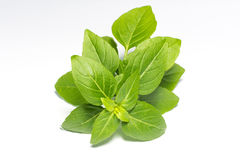 Frischer grüner Blattbasilikum stockbild