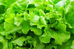 Frischer grüner Blattkopfsalat Stockfotos