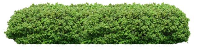 Frischer grüner Busch lokalisiert auf weißem Hintergrund stockbilder