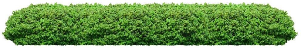 Frischer grüner Busch lokalisiert auf weißem Hintergrund stockfoto