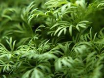 Frischer grüner Dill Lizenzfreies Stockfoto