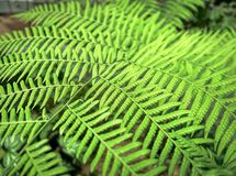 Frischer grüner Fern Plant Background Stockbilder