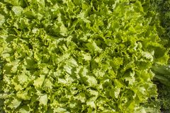 Frischer grüner Kopfsalat Stockbild