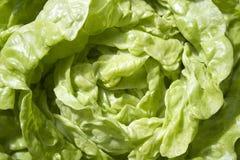 Frischer grüner Kopfsalat Stockbilder
