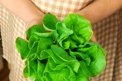 Frischer grüner Kopfsalat in der Hand Stockbilder