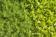 Frischer grüner Kopfsalat und Dill Stockfotografie