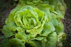 Frischer grüner Kopfsalatsalat lizenzfreie stockbilder