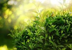 frischer grüner Laubbusch stockbilder