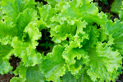 Organischer Kopfsalat Stockfoto