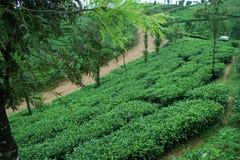 Frischer grüner Tee Stockbild