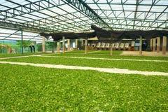 Frischer grüner Tee Stockfoto