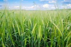 Frischer grüner Weizen in einer nahen Ansicht mit einem blauen Himmel auf dem Hintergrund Lizenzfreie Stockfotografie