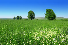 Frischer grüner Weizen mit Gänseblümchen Lizenzfreie Stockbilder