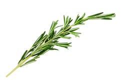 Frischer grüner Zweig des Rosmarins Stockfotografie