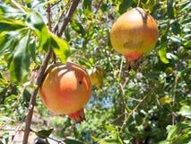 Frischer Granatapfel auf dem Baum Stockbilder