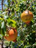 Frischer Granatapfel auf dem Baum Stockfotos