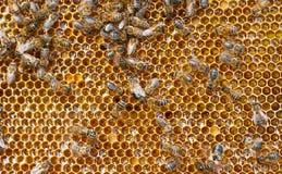 Frischer Honig im Kamm und in den Bienen Stockbilder