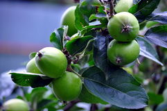 Frischer junger Apfelzweig lizenzfreies stockbild