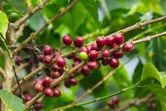 Frischer Kaffeestartwert für zufallsgenerator lizenzfreies stockfoto