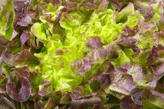 Frischer Kopfsalat Stockfotos