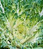 Frischer Kopfsalat. Stockbilder