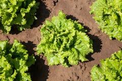 Frischer Kopfsalat Stockbild