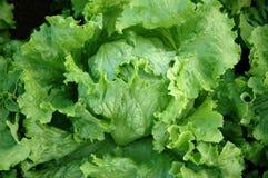 Frischer Kopfsalat Lizenzfreies Stockfoto