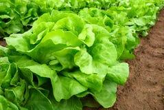 Frischer Kopfsalat auf einem Feld Stockbilder
