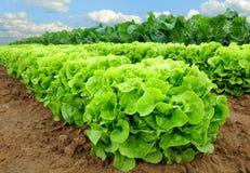 Frischer Kopfsalat auf einem Feld Lizenzfreies Stockfoto