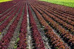 Frischer Kopfsalat auf Feld Stockbilder