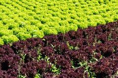 Frischer Kopfsalat auf Feld Lizenzfreie Stockfotografie
