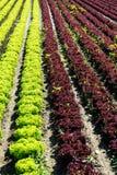 Frischer Kopfsalat auf Feld Stockfoto