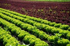 Frischer Kopfsalat auf Feld Stockfotos