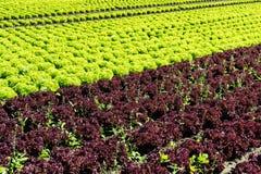 Frischer Kopfsalat auf Feld Lizenzfreie Stockbilder