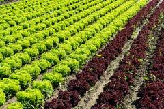 Frischer Kopfsalat auf Feld Lizenzfreies Stockbild