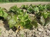 Frischer Kopfsalat, der auf dem Gebiet wächst Toskana, Italien Lizenzfreies Stockfoto