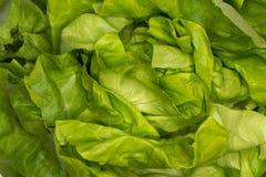 Frischer Kopfsalat des gr?nen Salats lizenzfreie stockfotografie