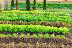 Frischer Kopfsalat im Garten Stockfotos