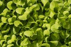 Frischer Kopfsalat im Garten Stockfoto