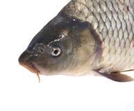 Frischer lebender Fisch wird getrennt Lizenzfreie Stockfotografie