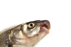 Frischer lebender Fisch wird getrennt Stockbild