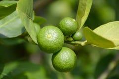 Frischer Limettenbaum Lizenzfreies Stockfoto