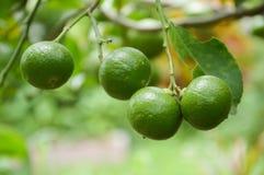 Frischer Limettenbaum Lizenzfreie Stockfotos