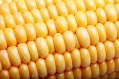 Frischer Mais. lizenzfreie stockbilder
