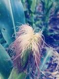 Frischer Mais des Pfeilers auf dem Stiel, stockbild