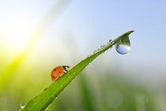 Frischer Morgentau auf grünem Gras und Marienkäfer Lizenzfreies Stockbild