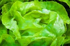 Frischer nasser Kopfsalat im Garten Stockfotografie