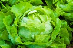 Frischer nasser Kopfsalat im Garten Lizenzfreies Stockbild