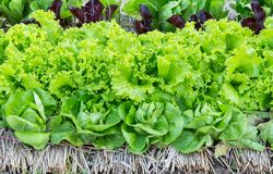 Frischer organischer grüner Kopfsalatgemüsesalat im Bauernhof für Gesundheits-, Lebensmittel- und Landwirtschaftskonzeptdesign lizenzfreies stockbild